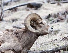 Free Bighorn Sheep Royalty Free Stock Images - 10197879