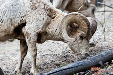 Free Bighorn Sheep Stock Photography - 10197882