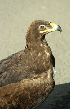 Free Golden Eagle Royalty Free Stock Images - 10198139