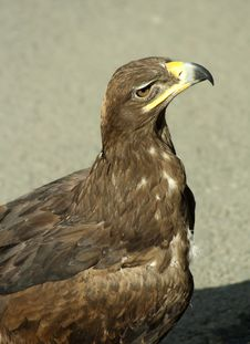 Free Golden Eagle Stock Photography - 10198142