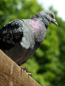 Free Pigeon Royalty Free Stock Photography - 10198257