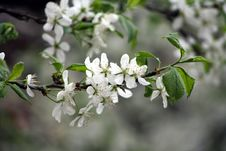 Free Apple Tree Blooming Stock Images - 10198334