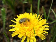 Free A Bug On A Dandelion Stock Photos - 10198343