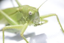 Free Grasshopper Stock Photos - 10198363