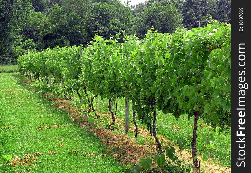 Vineyard in daylight