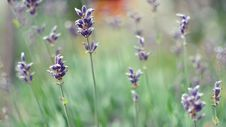 Free English Lavender, Lavender, Flower, Plant Stock Image - 101919451