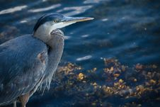 Free Bird, Beak, Close Up, Heron Stock Photos - 101919703