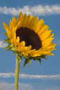 Free Sunflower Stock Photography - 1022582