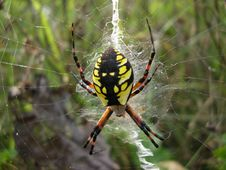 Yellow-Black Spider Stock Images