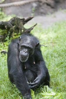 Free Chimpanze Stock Photos - 1021323