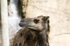Free Camel Stock Images - 1021404