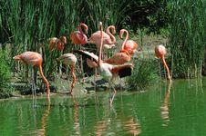 Free Pink Flamingos Royalty Free Stock Photography - 1021647