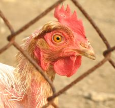Free Chicken Behind Fence Stock Image - 1022391