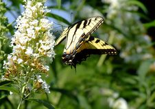 Free Swallowtail Butterfly And White Flowers Stock Image - 1023251