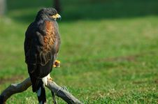 Free Harris S Hawk Royalty Free Stock Images - 1023769