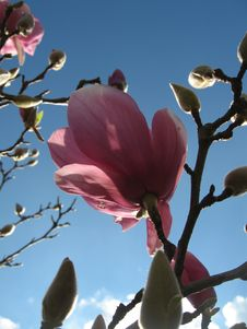 Magnolia Day Bloom Stock Images