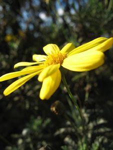 Yellow Daisy On An Angle Royalty Free Stock Photos