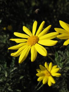 Free Yellow Daisy Bush Stock Photography - 1024362