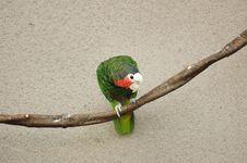 Free Cuban Parrot Stock Image - 1024911
