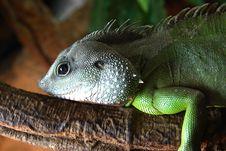Free Iguana Stock Photography - 1024972