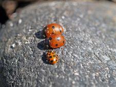 Free Race Of Ladybirds Stock Photography - 1026082