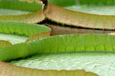 Free Victoria Amazonica (close Up) Royalty Free Stock Images - 1026119