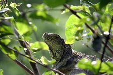 Free Iguana Stock Photo - 1027700