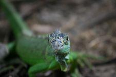 Free Iguana Stock Image - 1027751