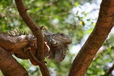 Free Iguana Royalty Free Stock Image - 1027816