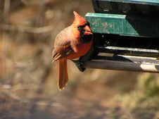 Free Male Cardinal Stock Images - 1027984