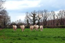 Free Five Cows Royalty Free Stock Photos - 1028918