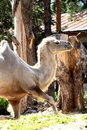 Free Camel Stock Images - 10200734