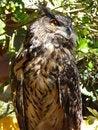 Free Owl Royalty Free Stock Photo - 10208045
