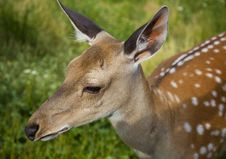 Free Small Deer Royalty Free Stock Photography - 10200107