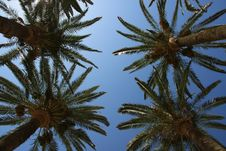 Free Four Palms Trees HEads Stock Photography - 10200622