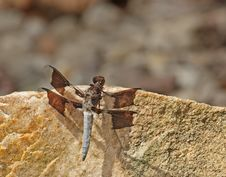 Free Common Whitetail Dragonfly (Platemis Lydia) Royalty Free Stock Images - 10200909