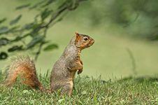 Free Fox Squirrel (Sciurus Niger) Stock Photography - 10200952