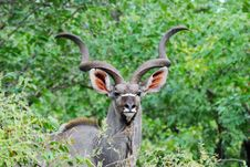 Free Greater Kudu Male (Tragelaphus Strepsiceros) Stock Image - 10201611