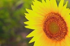 Free Closeup Of A Sunflower Royalty Free Stock Image - 10201856