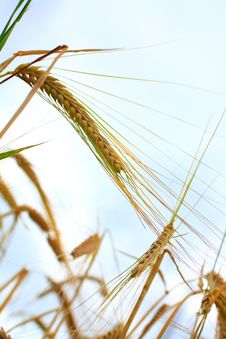 Free Wheat Royalty Free Stock Photography - 10202047
