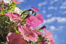Free Pink Petunia On Sky Background Stock Image - 10202731