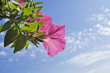 Free Pink Petunia On Sky Background Stock Photo - 10202740