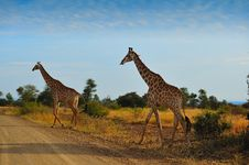 Free Giraffes (Giraffa Camelopardalis) Royalty Free Stock Photography - 10202827