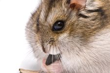 Free Dwarf Hamster Eat Sunflower Seed Stock Image - 10202841