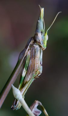 Free Praying Mantis (Empusa Fasciata) Royalty Free Stock Photo - 10202865