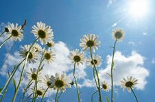 Free Daisies Stock Image - 10204401