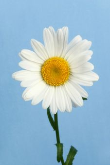 Free Chamomile Royalty Free Stock Photos - 10204458
