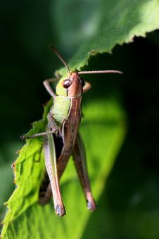 Free Grasshoper Royalty Free Stock Photography - 10204507