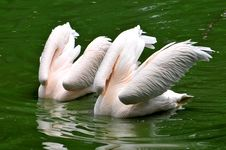 Pink Pelicans Royalty Free Stock Photography