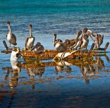 Free Group Of Pelicans Royalty Free Stock Photo - 10205725